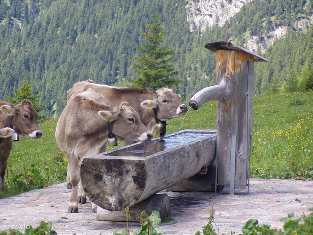 Liechtensteinben kirándulva gyakran futhatunk össze tehenekkel