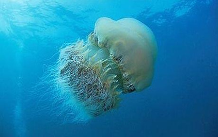 Nomura s-jellyfish 1514656c