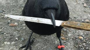 Canuck a varjú szabotálja a rendőrség munkáját