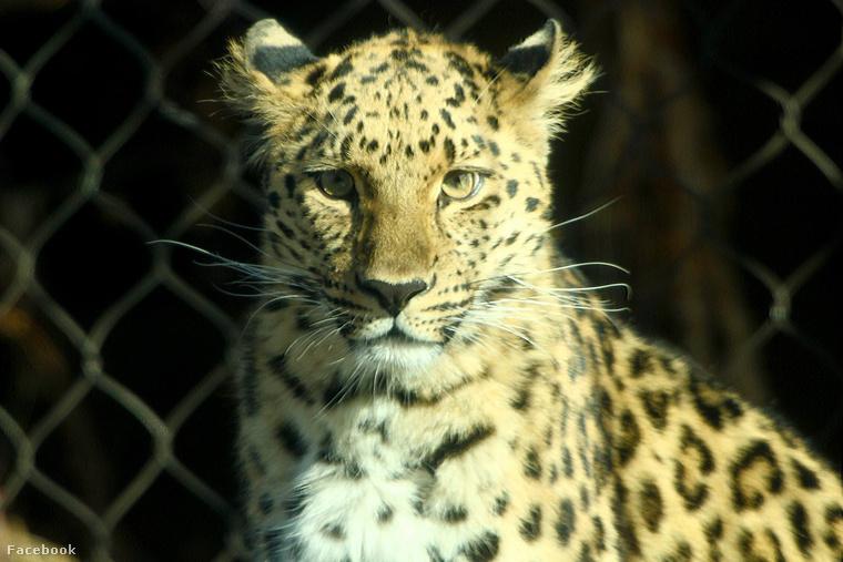 Zeya, a leopárd, aki csak szabadságra vágyott