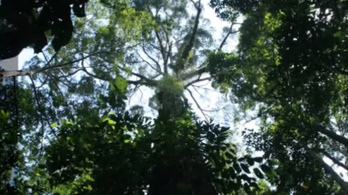 Majdnem kilencvenméteres a legmagasabb trópusi fa