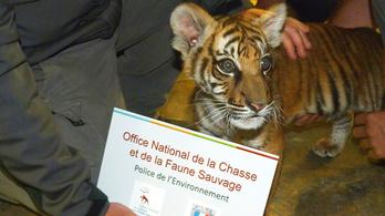Pórul járt a drogíler a tigriskölyökkel