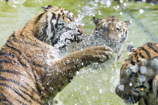 Vízzel hűtik a szibériai tigriseket