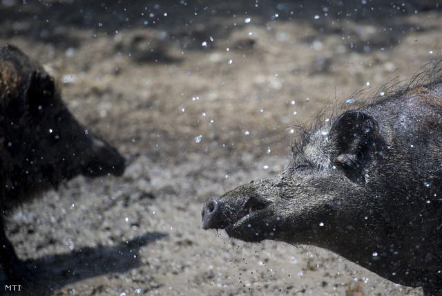 Vízzel hűtik a vaddisznókat a hőségben