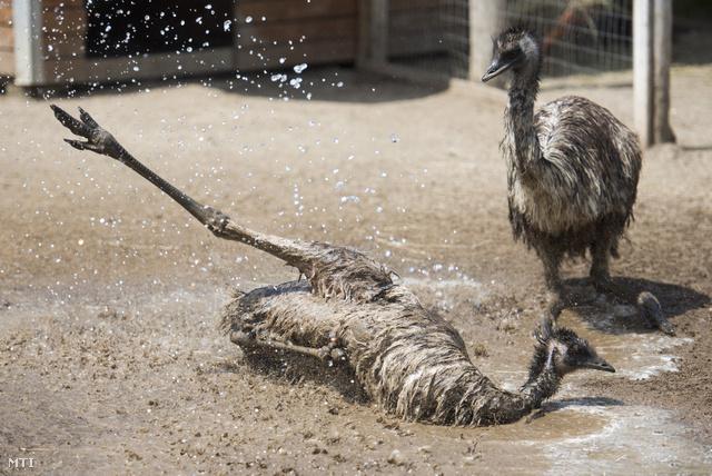Vízzel hűtenek egy emut a hőségben a Gyöngyösi Állatkertben