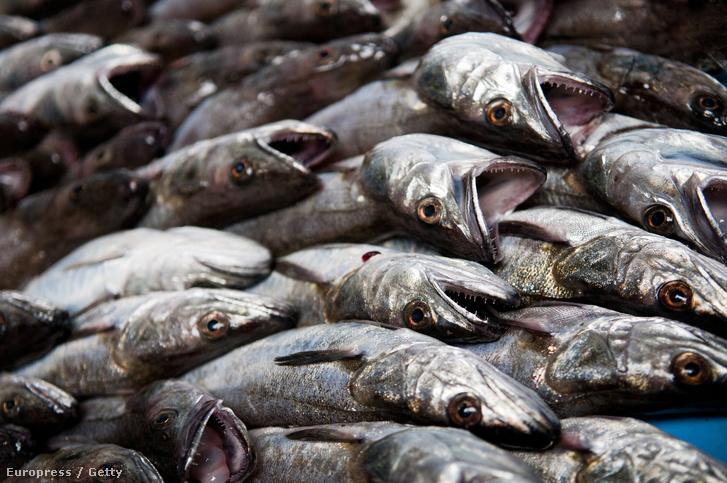 Köze sincs a Balatonhoz a legbalatonibb halnak, a hekknek, ami nélkül a hetvenes évek óta nincs családi nyaralás Magyarországon.