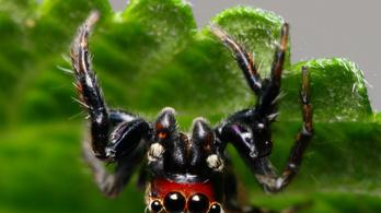 A pók, aminek az emberi vér a kedvence