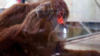 Videójáték segíti az orángutánt zeneszerzésben