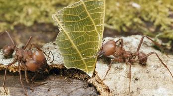 A hangyák 60 millió éve feltalálták a mezőgazdaságot