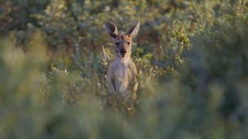 Több millió éves kengurufajokat fedeztek fel Ausztráliában