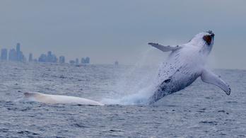 Visszatért Migaloo, a világ leghíresebb fehér bálnája