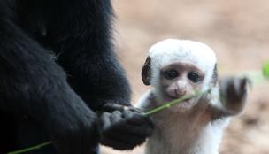 Látott már ilyen cuki hófehér majomapróságot?