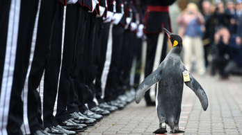 Semmi nem állíthatja meg a világbékét, tábornok lett egy királypingvin