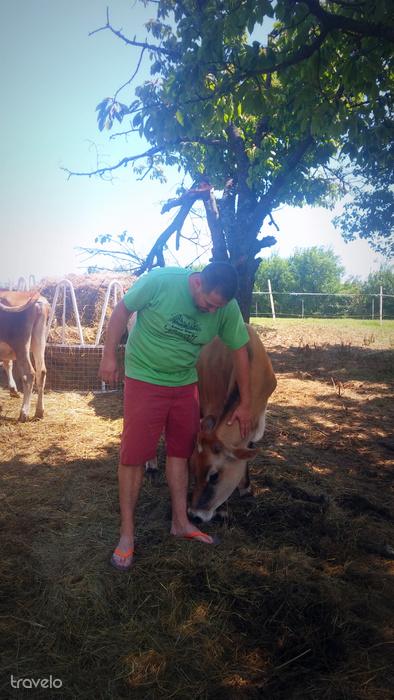 Korosa András és az egyik tehene: nagy a szerelem