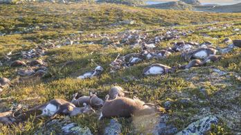 322 rénszarvast csapott agyon villám Norvégiában