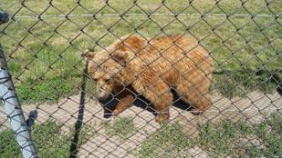Svédasztallal fogadták a mentett spanyol medvepárt