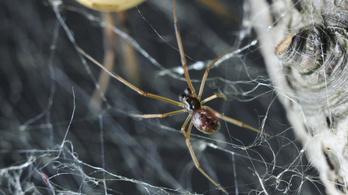 Kifejletlen nőstényekkel párosodó pókot találtak