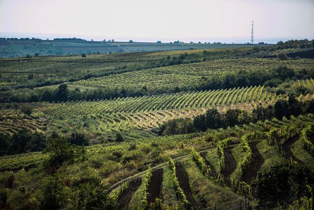 Gyönyörű szőlő Abasárnál