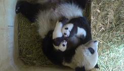Előbújtak barlangjukból a bécsi állatkert pandaikrei