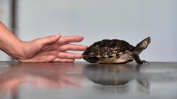 A teknősbéka túl gyorsan ment