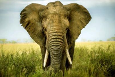 elefant lead