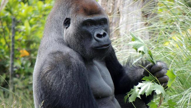 Kifutójából elszökött gorilláért harcolnak az állatvédők
