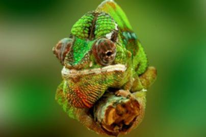 kameleon lead