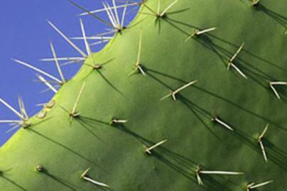 kaktuszka