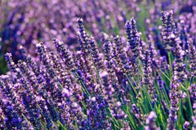 levendula lila