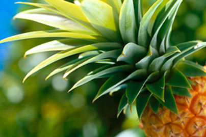 ananaszlevelek