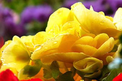 virag begonia