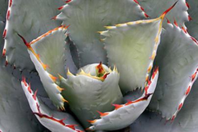 kiralynoi agave lead