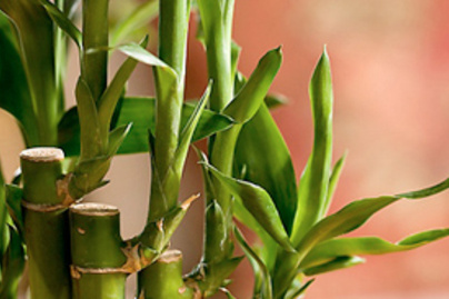 bambuszka