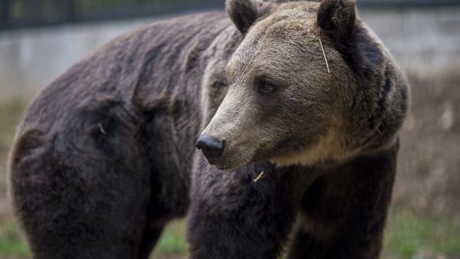 Nikolaj ma a Dunántúl egyetlen barnamedvéje