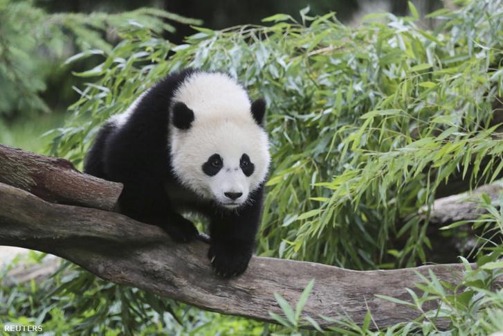 Bao Bao a Smithsonian Nemzeti Állatkert nőstény óriáspandája
