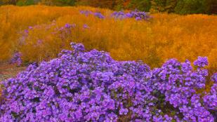 Nem csak a krizantémtól lehet színpompás a kertje ősz végén is