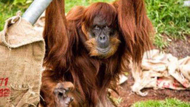 60 éves a világ legidősebb szumátrai orangutánja