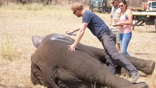 Harry hercegtől megtanulhatja, hogyan kell elefántot költöztetni