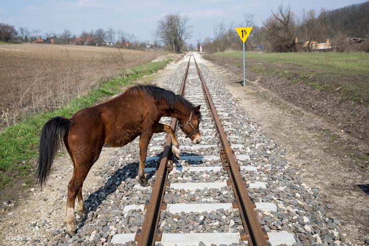 Ló sétál keresztül a felcsúti kisvasút már megépült szakaszán.