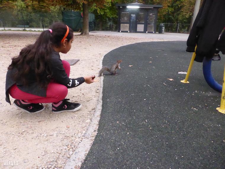 Az emberek folyamatosan etetik a mókusokat. Pedig éppen az a probléma, hogy maguktól is túl könnyen találnak élelmet.