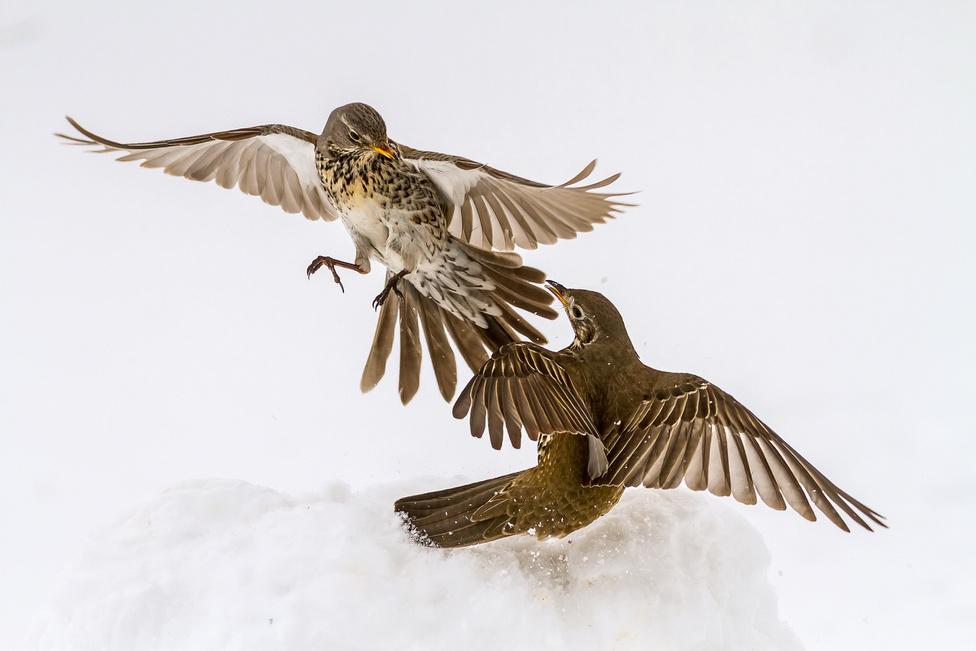 II. A madarak viselkedése (kategória) | 1. Jakab Tibor: Havas harc
