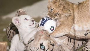Remek társaságba került egy fehér oroszlánkölyök Nyíregyházán