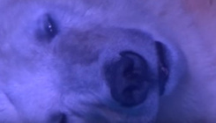 Szabadságra megy a világ legszomorúbb jegesmedvéje