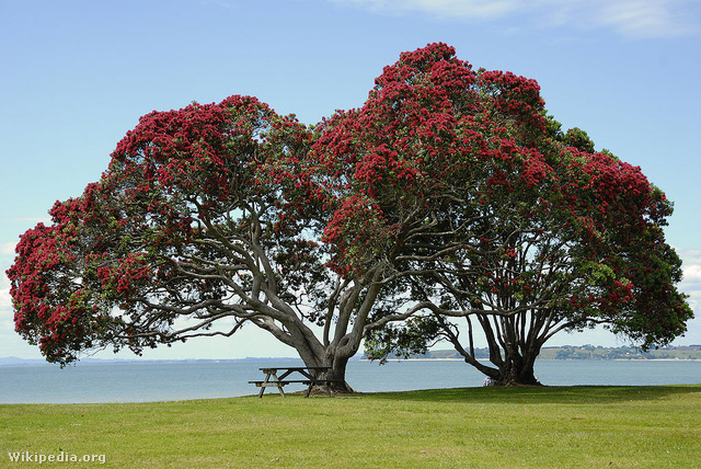 Íme Új-Zéland karácsonyfája, a pohutukawa fa, amely december végére vörös virágokba borul