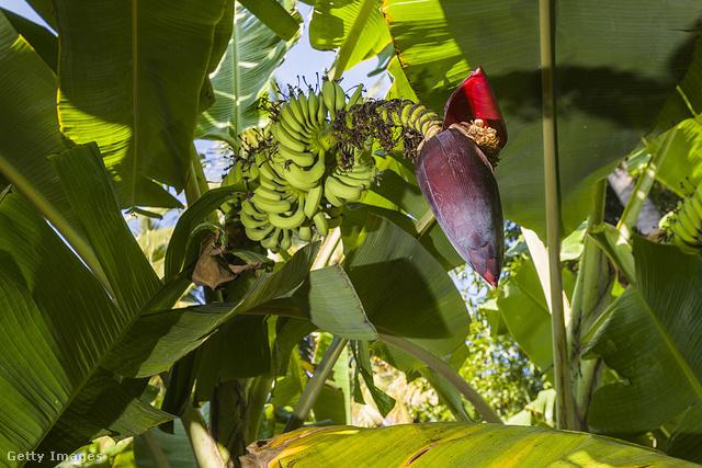 Mit szólnának idén, ha fenyőfa helyett banánfa állna a szoba közepén? Az indiaiak nem bánják