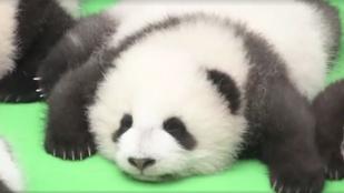 Ez garantáltan feldobja: nézegessen egy tucat mini pandát!