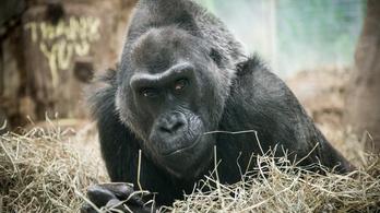 Megműtötték a világ legöregebb gorilláját