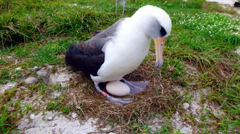 66 évesen újra költ a világ legidősebb tengeri madara
