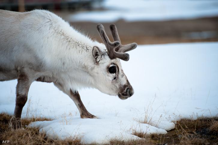 Svalbard-szigetek (Spitzbergák), Norvégia: táplálékot kereső rénszarvas