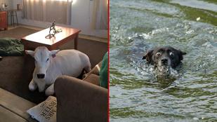 A tehén, aki kutyának hiszi magát vagy a túl kameraérzékeny mentőkutya a menőbb?